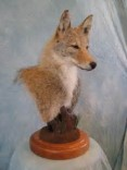 Buy Taxidermy, Any condition, Fort Worth
