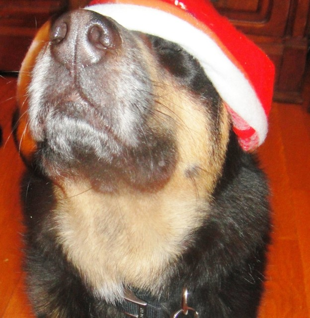 Beckett My Wonder Dog says Merry Christmas!! 006